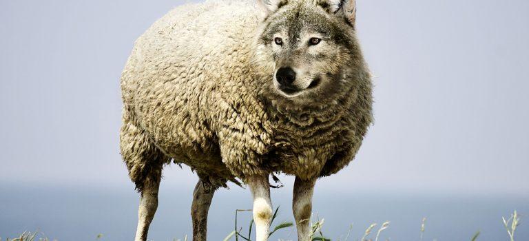 Was soll der Scheiß mit den Schafen?